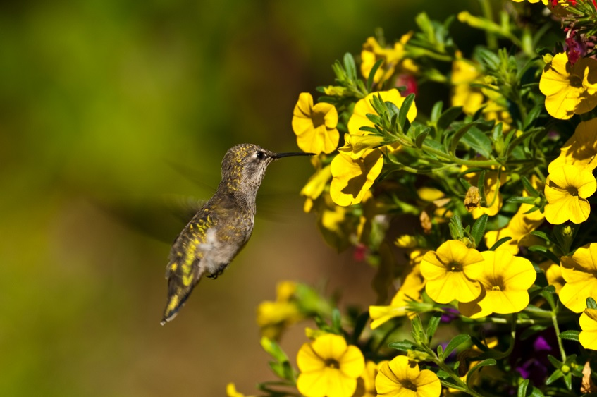 Hummingbird Sipping Nectar from a Flower