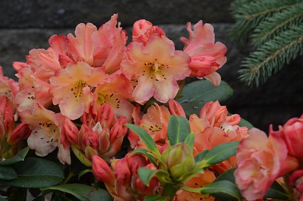 Rhododendrons Yard N Garden Land